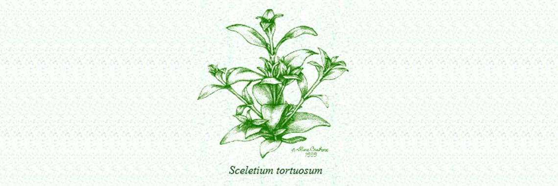 Sceletium Tortuosum